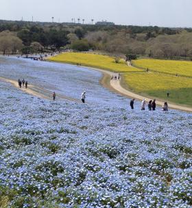 青い花・・いや、百合の話ではなく 国営ひたち海浜公園(ひたちなか市)