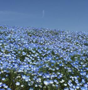 【開花と混雑は?】4月20日 もはやネモフィラは満開 ひたち海浜公園(ひたちなか市)