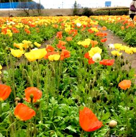 満開のポピー畑でビックリ、まさかのミラクルフルーツ体験! 館山ファミリーパーク(館山市)